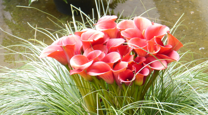 Red Calla Lilies at the Girona Flower Festival Photo: Solotravelerblog.com